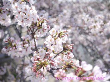P10500430001芦屋桜2.jpg