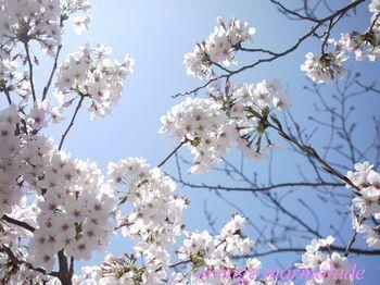 P10500540001芦屋桜4.jpg